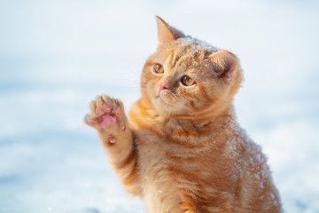 Cat Playing With Snow Little Ginger Kitten With A Paw In The Air