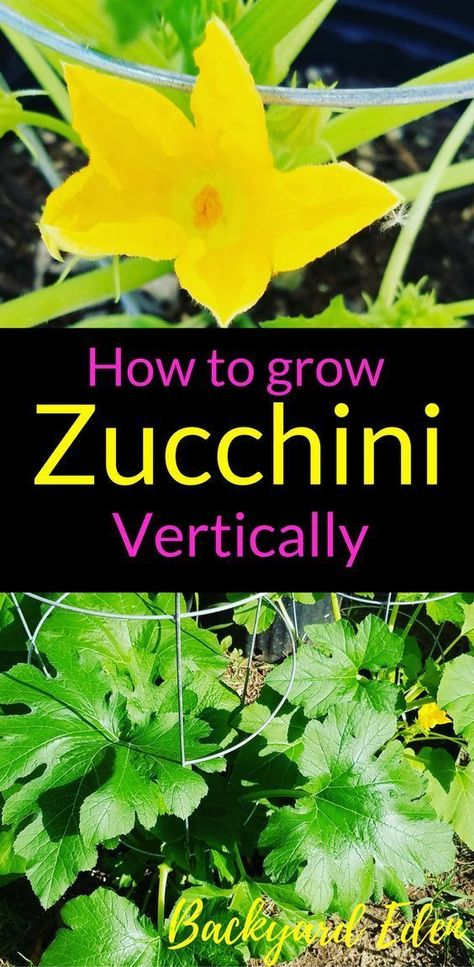 How to grow Zucchini Vertically | Vertical Gardening | Vertical Vegetable Gardening | Vertical Fruit Gardening | Vertical Indoor Gardening | Vertical Gardening Ideas | Vertical Gardening Tips | Vertical Gardening for small yards | Space Saving Vertical Gardening | Vertical Gardening for Apartments | Backyard-Eden.com #indoorgardening #fruitgarden