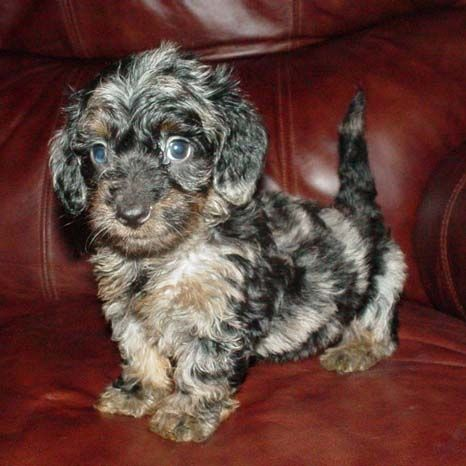 Another Cutie From Winbornecreek Wire Haired Dachshund