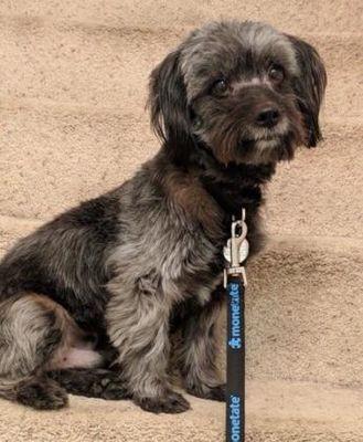 Chester Springs Pa Tibetan Terrier Meet Lucky A Dog For Adoption Dog Adoption Tibetan Terrier Paws Rescue