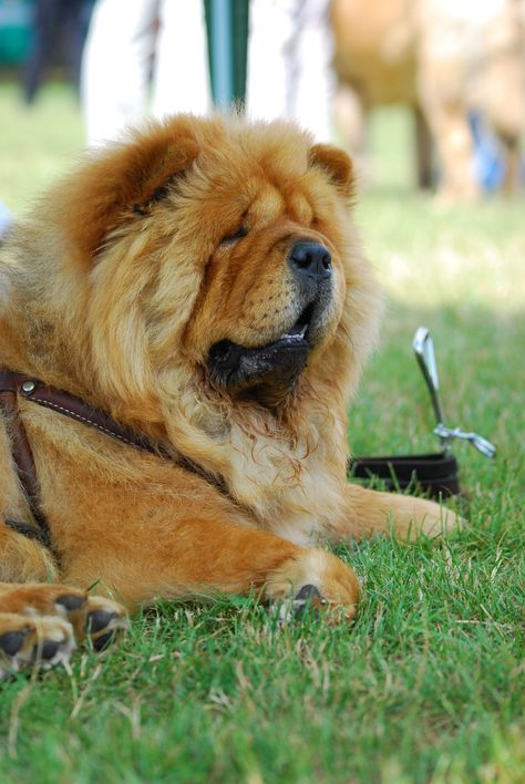 Loading Chow Chow Dog Puppy Chow Dog Breed Chow Chow Dogs