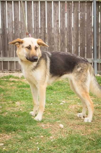German Shepherd Dog Dog For Adoption In Stephens City Va Adn