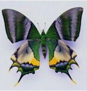 Pin Von Thomas Doerr Auf Schmetterlinge Schmetterlingsarten Schmetterlingszeichnung Schmetterlingsbilder