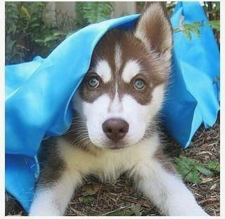 Pin By Dog Is Life On Husky Siberian Husky Husky Puppy Husky Dogs