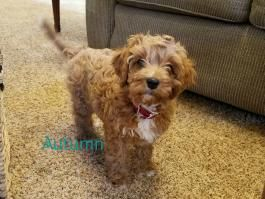 Pin By Abbyd Fletcher On C U T I E S Cavapoo Puppies Cavapoo Puppies For Sale Cavapoo