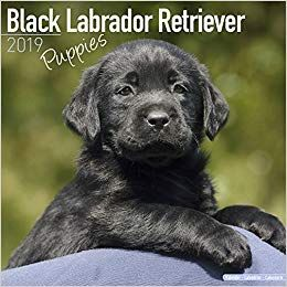 Cute Labrador Retriever Dog Breeders In 2020 Black Labrador
