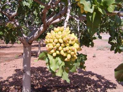 119 Best Pistachio Tree Images
