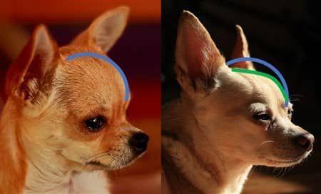 Apple Vs Deer Head Chihuahua Example Two In 2020 Chihuahua Deer