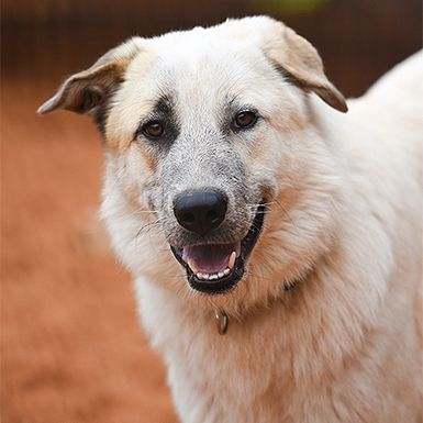 Anatolian Shepherd Dog For Adoption In Kanab Ut Adn 58586 On