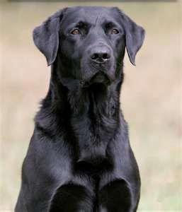 Labrador Lovers Labrador Love Instagram Posts Videos Stories On Webstaqram Com Black Labrador Retriever Golden Labrador Puppies Labrador