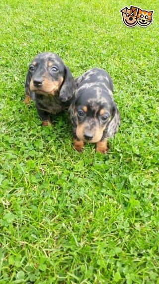 Pure Dachshund Puppies Pra Clear Dachshund Puppies Dachshund