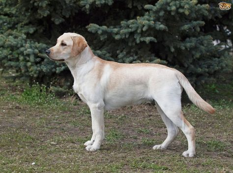 Goldador Dog Breed Information Facts Photos Care Pets4homes