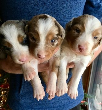 Litter Of 8 Australian Shepherd Puppies For Sale In Purdy Mo Adn