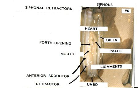 Razor Clam Diagram Auto Electrical Wiring Diagram