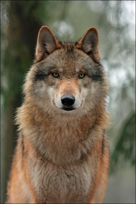 Pin By Samantha Yanko On Wolves With Images Wolf Spirit Animal Wolf Dog Adopt A Wolf