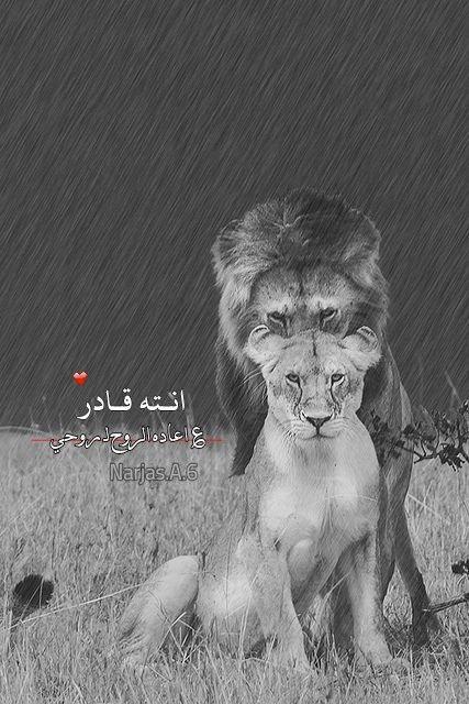تصميمي رمزيات اسد ولبوه Lion Photography Lion Images Lion Love