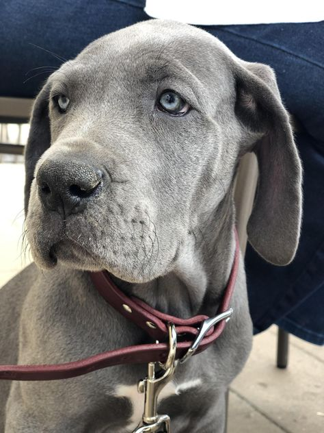 I Officially Got My Great Dane Puppy She S 9 Weeks Now And Her