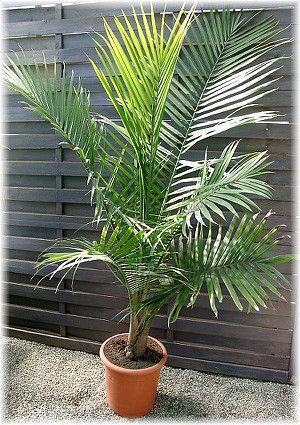 Weissstamm Palme Ravenea Rivularis Palmen Pflanzen Palmenarten Palmen