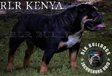 Our Gorgeous Kenya And Mother To Our Newest Litter For Available