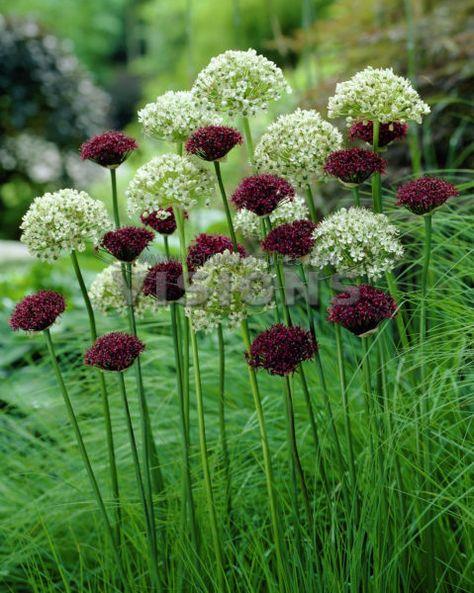 lifesweetandsimple Allium atropurpureum, Allium nigrum   Added - allium beetstecker aus metall