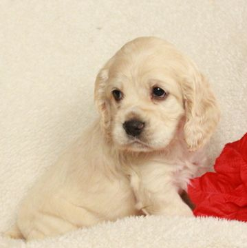 Cocker Spaniel Puppy For Sale In Gap Pa Adn 56343 On Puppyfinder Com Gender Female Age 5 W Spaniel Puppies For Sale Spaniel Puppies Cocker Spaniel Puppies