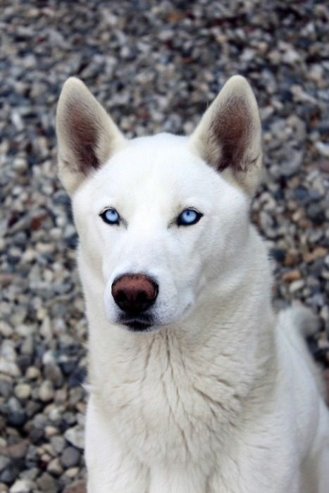 Siberian Husky White Husky Husky With Blue Eyes Siberian Husky Dog