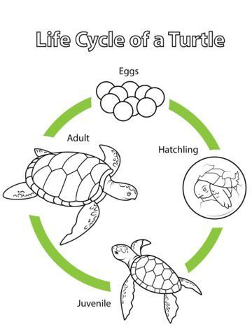 Life Cycle Of A Turtle Coloring Page From Biology Category Select From 20946 Printable Crafts Of Cartoons Life Cycles Life Cycles Preschool Animal Life Cycles