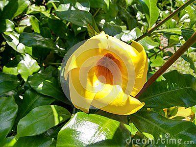 Akar Cempaka Hutan Akar Chempaka Kuning Allamanda Angel S Trumpet Brownbud Allamanda Brown Bud Allamanda Bu Yellow Flowers Buttercup Flower Angel Trumpet
