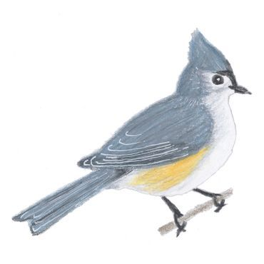 Tufted Titmouse Colored Pencil Drawing By Terri Fisher Birds