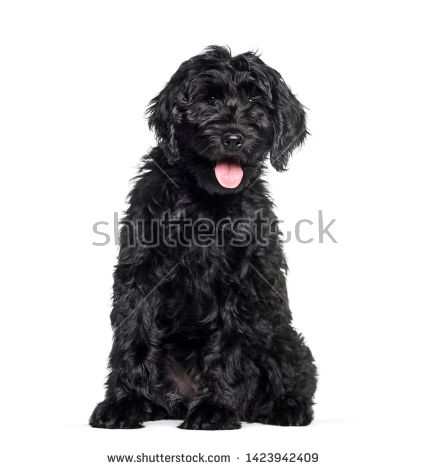Stock Photo Mixed Breed Labradoodle Sitting Against White Background Buy Pets Online Pet Supplies Pets