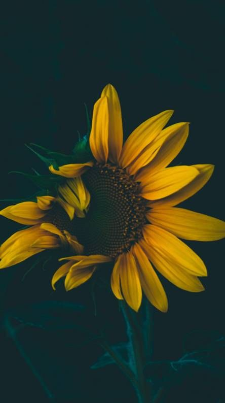Iphone Wallpaper Sunflower Vintage Sunflowerpainting With