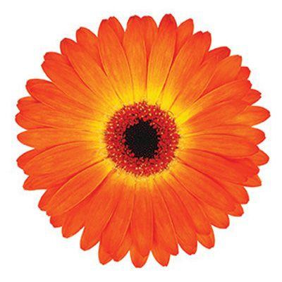 Gerbera Garvinea Sweet Sunset Gerbera Daisy Asteraceae The Aster Family Gerbera Flower Gerbera Daisy Gerbera