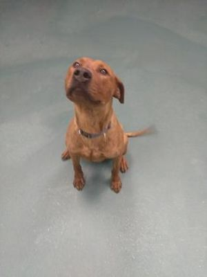 Adopt Rex On Adoptable Dachshund Dog Dogs Dachshund