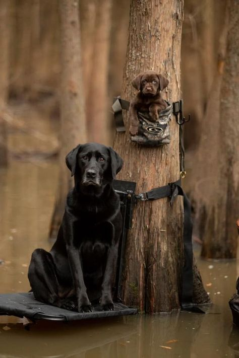 All Things Outdoors Hunting, Fishing, Vintage Guns, Good Food, Bourbon Hunting Art, Hunting Dogs, Black Lab Puppies, Dogs And Puppies, Doggies, I Love Dogs, Cute Dogs, Black Labrador Retriever, Retriever Puppies