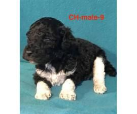 Standard Poodle Full Akc Poodle Puppies For Sale And Adopt