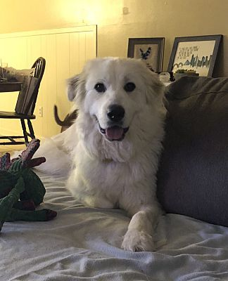 Chicago Il Great Pyrenees Meet Rosie A Dog For Adoption Dog