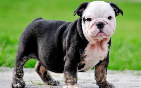 Hamta Bilder Engelsk Bulldog Hund Valpar Sota Djur Grasmatta