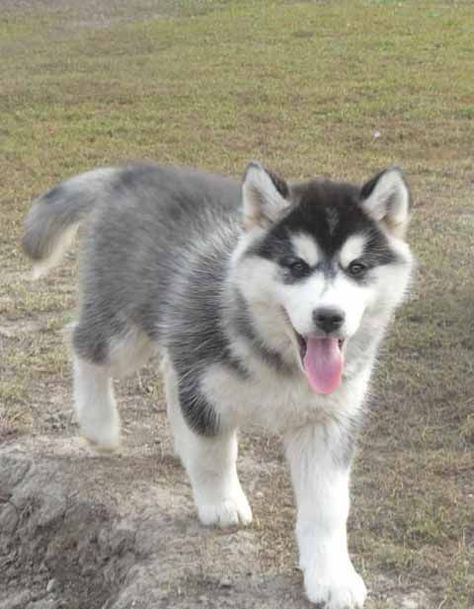 Pommerscher Husky Pomsky Sibirischer Husky Heiser Husky Hund