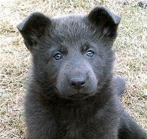 Blue Gsd S Blue Gsd S Have Very Light Colored Eyes That May