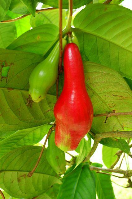 Giant Lau Lau Syzygium Megacarpa Exotische Fruchte Fruchte Exotische