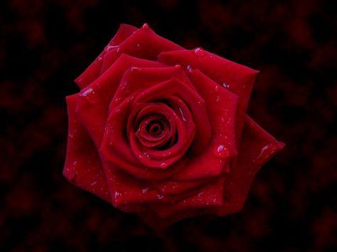 Pin Em Rosa Damascena الورد الجوري
