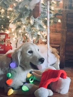 Golden Retriever Puppy For Sale In Mount Joy Pa Adn 71342 On