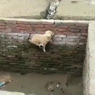 Cachorro Cae A Un Pozo Y Él Mismo Se Rescata