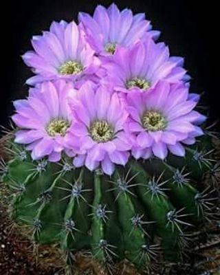 قال الإمام ابن القيم رحمه الله فإن م ن لم ير نعمة الله عليه إلا في مأكله و مشربه و عافية بدنه فليس له نصيب Blooming Cactus Cactus Flower Cactus Plants