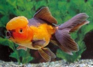 Red And Black Oranda Goldfish Oranda Goldfish Goldfish Aquarium Fish
