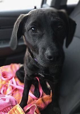 Detroit Mi Retriever Unknown Type Meet Torvi A Dog For