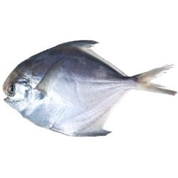 Sea Pomfret Fish Pomfret Fish Fish Pomfret