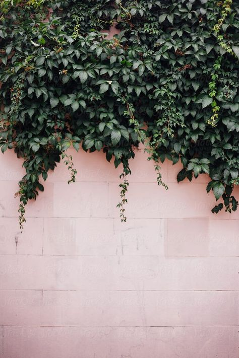 Ivy on Pink Wall by Kara Riley for Stocksy United