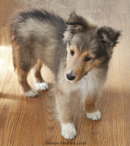 Shetland Sheepdog Sheltie Puppy For Sale Near Grand Rapids