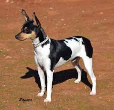 60 Ideeën Over Bodeguero Honden Rat Terriers Fox Terrier